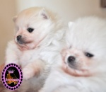White Pomeranian pups