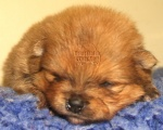Australia BISA Champion Dochlaggie Dragon Double pictured here as a puppy